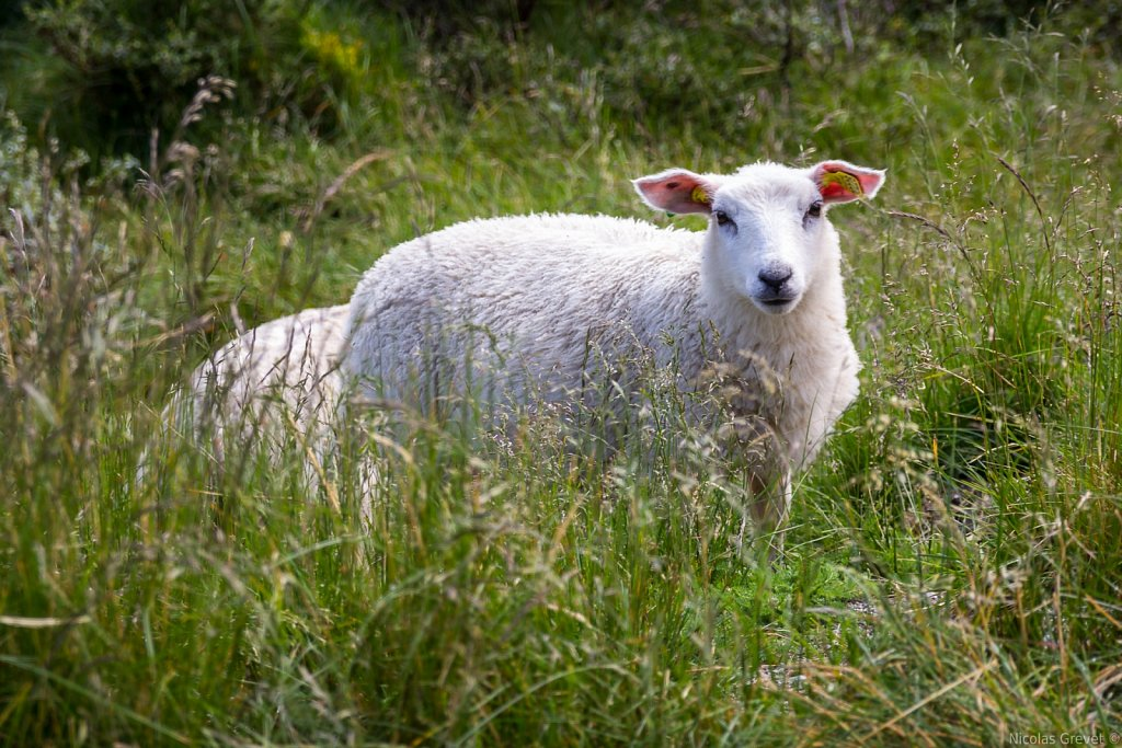 Fluffy high grass sheep