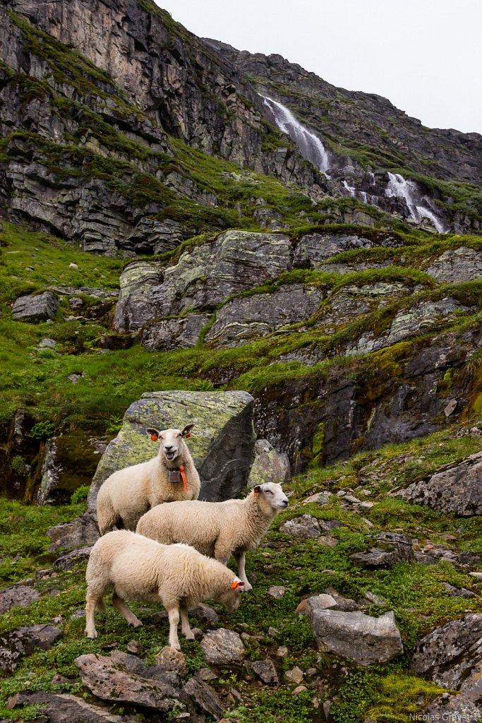 Røldalsfjellet sheeps