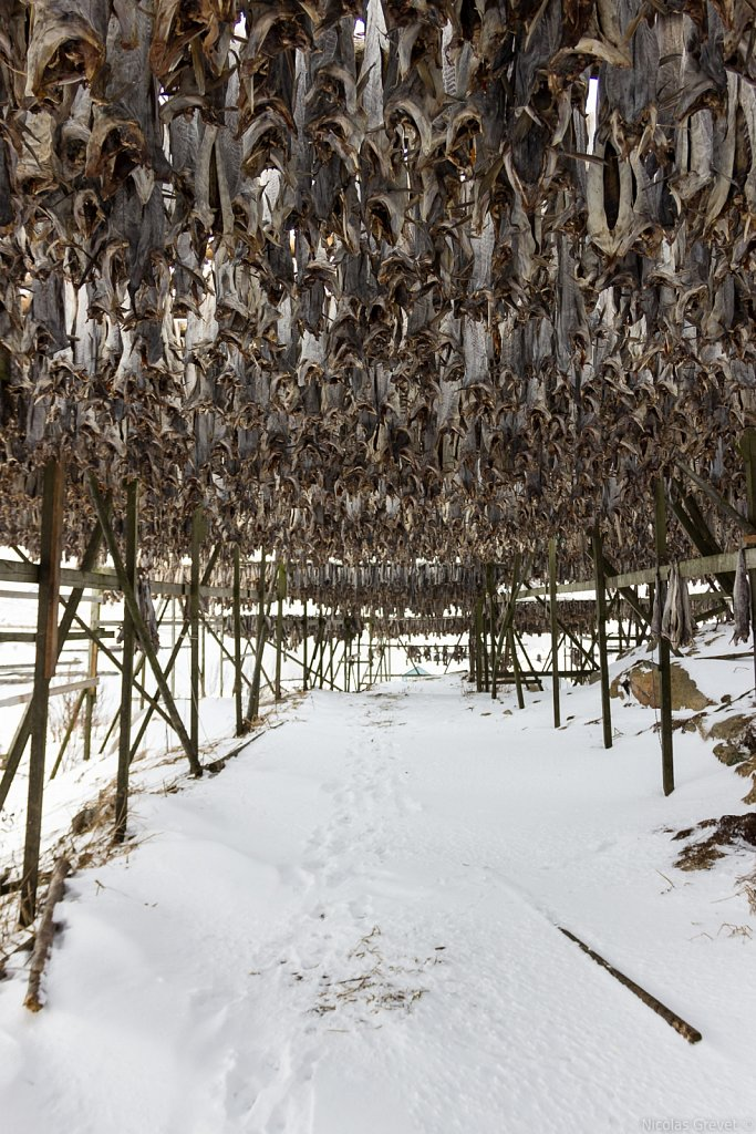 Dried cod in Henningsvær