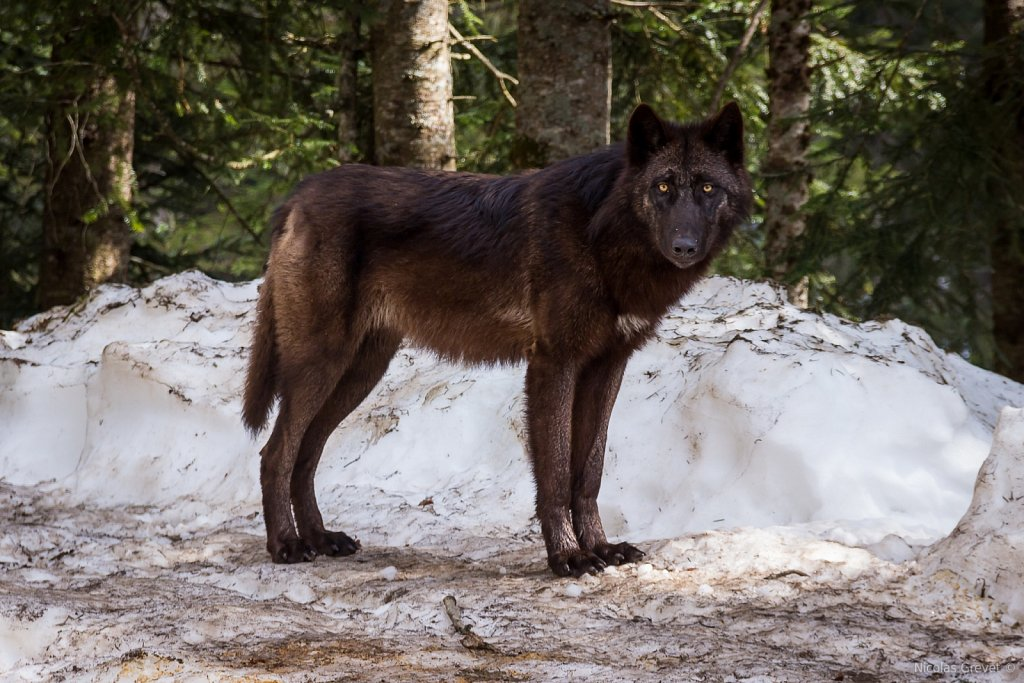 Canadian black wolf
