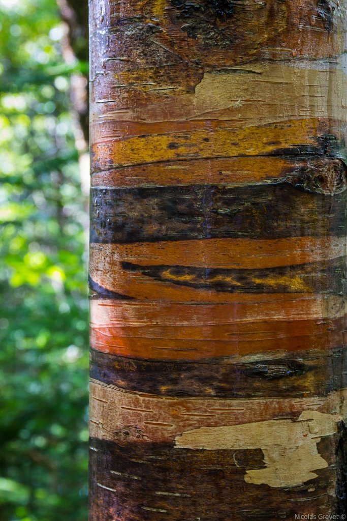 Multi-colored Birch Bark