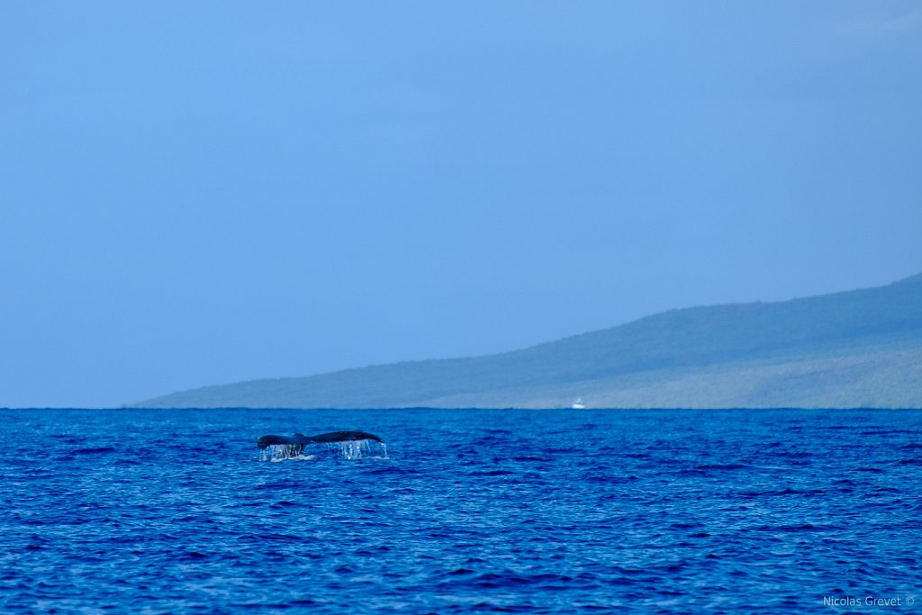 Lānaʻi Whale