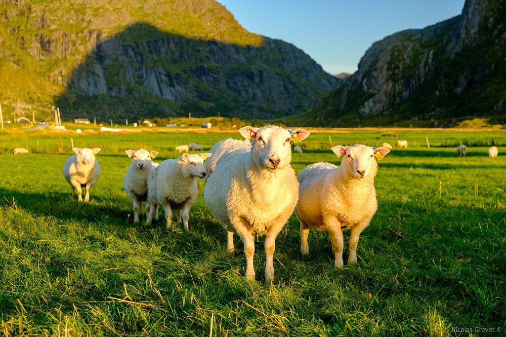 Flakstad Sheeps
